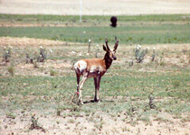 [ Pronghorn Buck ]